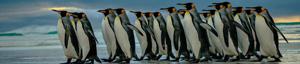 Penguin hunt week – October 7-13, 2020