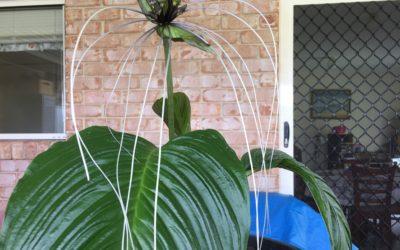 pauls bat plants